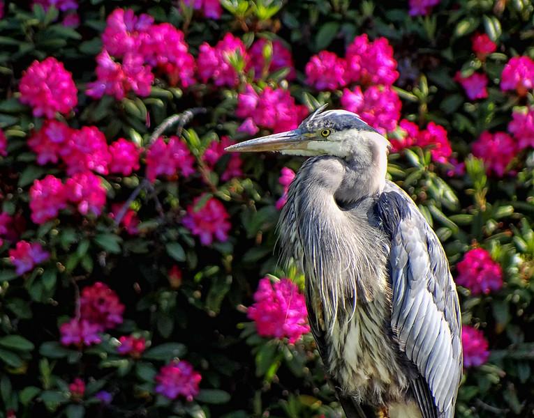 Great Blue Heron - Beacon Hill Park - Victoria, BC