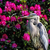 Great Blue Heron - Beacon Hill Park - Victoria, BC