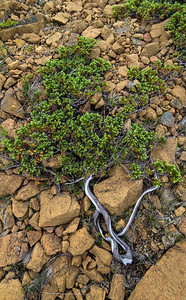 What little plant life survives in the extremely harsh environment of the Tablelands in Gros Morne National Park, is similar to this - ground-hugging, tough little evergreens.