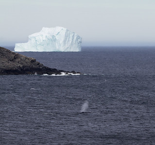 Amazingly lucky photographic moment - a whale blowing in the foreground with a gigantic iceberg floating in the background.
