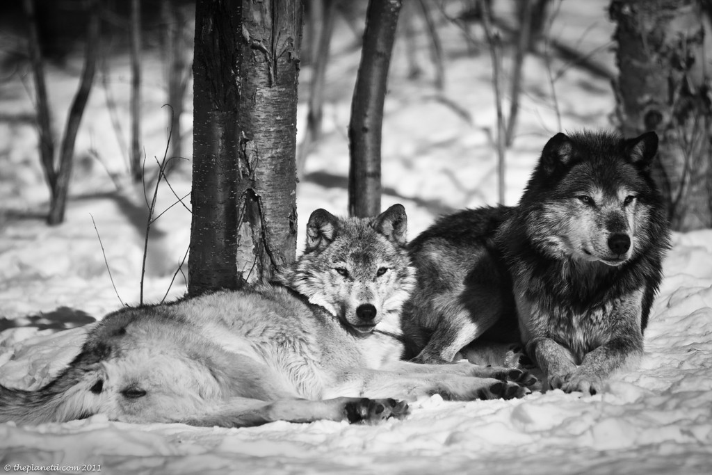 Winter-photo-wolves