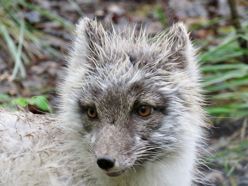 Arctic Fox - Yukon Wildlife Preserve