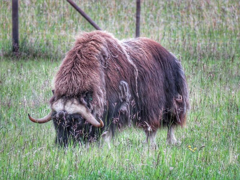 Musk Ox - Yukon Wildlife Preserve