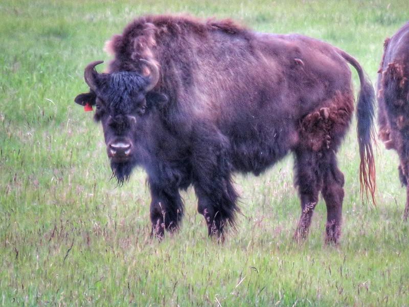 Bison - Yukon Wildlife Preserve