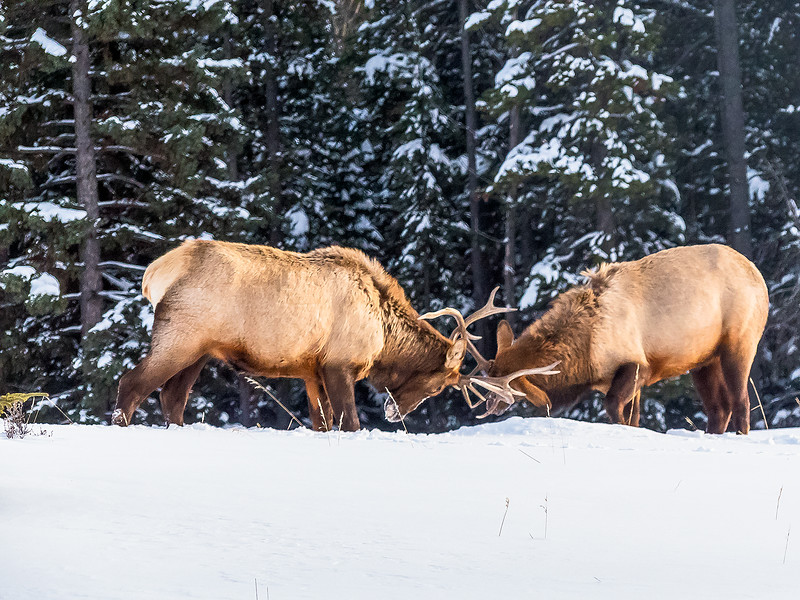 Elk Battle