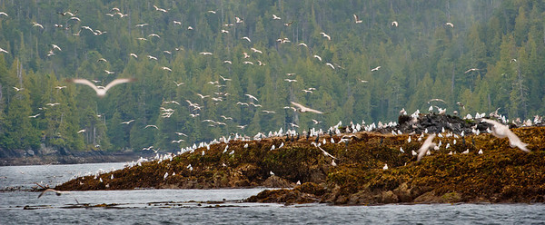 Seabirds gather on exposed rocks at low tide in the temperate rain forest of coastal Britsh Columbia, Canada, known as the Great Bear. With fjords and inlets along the Douglass Chanel (the proposed super-tanker route along Canada's, B.C. coast).