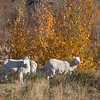 Dall Sheep near Kluane Lake, Yukon Territory, Canada