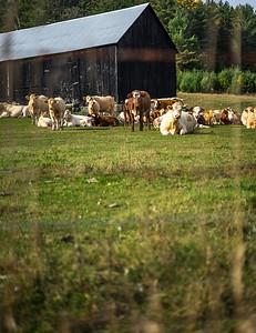 Hi! Cows