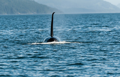 Canada - Orca close to Vancouver Island