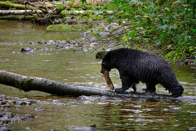 Black bear hunting migrating salmon in temperate rain forest of coastal Britsh Columbia, Canada, known as the Great Bear. With fjords and inlets along the Douglass Chanel (the proposed super-tanker route along Canada's, B.C. coast).