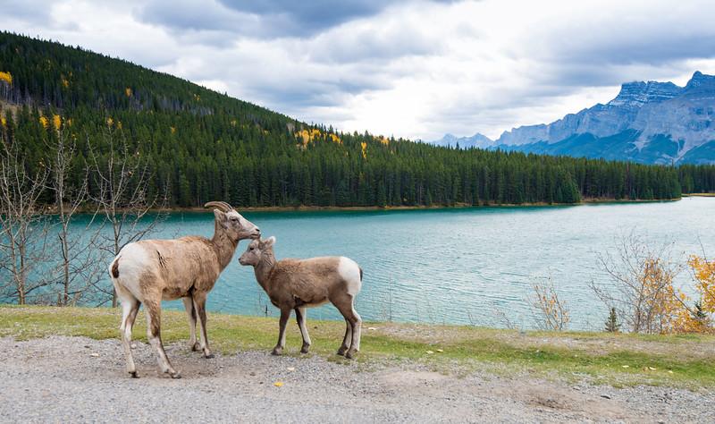 Bighorn Sheep at Two Jack Lake