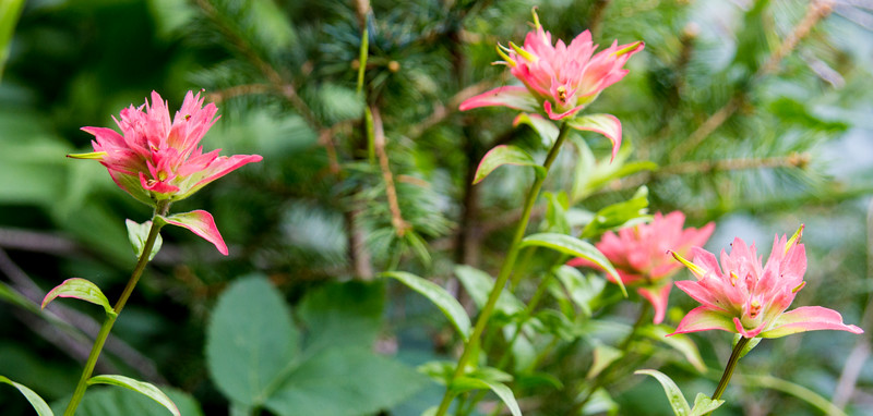 Salmon-Colored Indian Paintbrush
