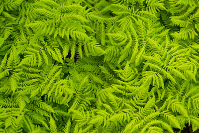 Swirl of ferns, Kootenay National Park