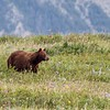 Black Bear in Waterton Lakes National Park