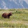 Black Bear in Waterton Lakes National Park