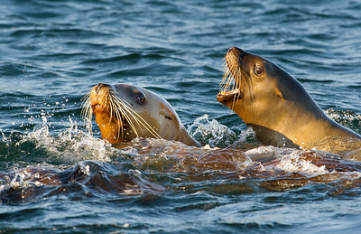 Steller sea lions in Douglass Chanel's coastal islands and surrounding Great Bear Temperate Rain Forest, British Columbia, Canada, in an area threatened by oil carrying super-tankers.