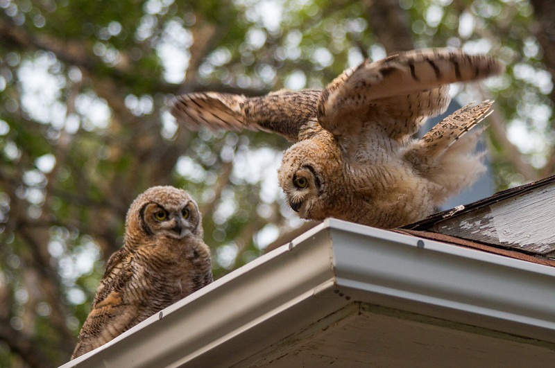 Flight Testing, Baby Great Horned Owls