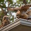 Flight Testing, Baby Great Horned Owls