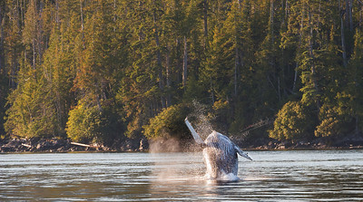 Humback whale breeching in Douglass Chanal, temperate rain forest of coastal Britsh Columbia, Canada, known as the Great Bear. With fjords and inlets along the Douglass Chanel (the proposed super-tanker route along Canada's, B.C. coast).
