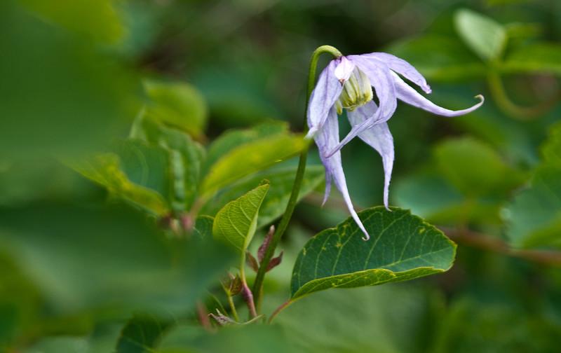 Wild purple clematis