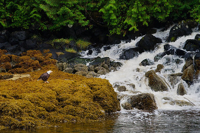 Bald eagle in the temperate rain forest of coastal Britsh Columbia, Canada, known as the Great Bear. With fjords and inlets along the Douglass Chanel (the proposed super-tanker route along Canada's, B.C. coast).