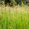 Grasses, Near Red Rocks Canyon
