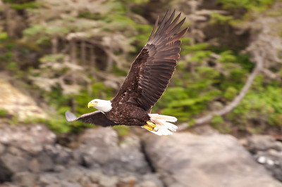 Canada - Bald Eagle in Flight