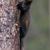 Pine marten, Banff National Park