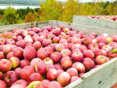 Ile d'Orleans - freshly picked apples