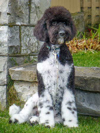 A tuxedo poodle in Pointe-au-Pic