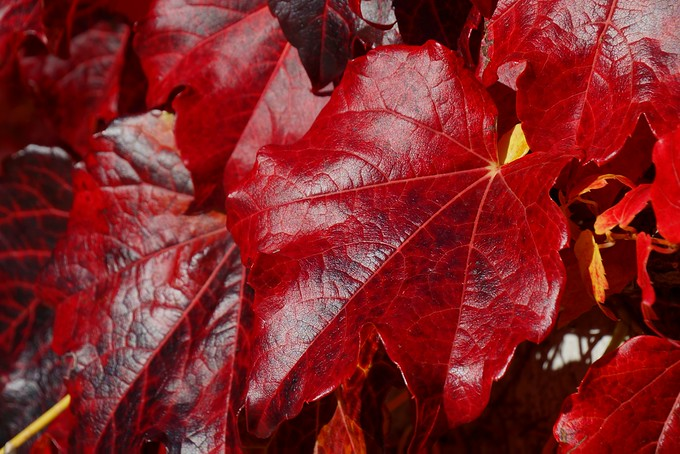 Vibrant red leaves at Queen's University in Kingston, Ontario, Canada
