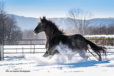 Canadian Horse Rocco - La Jemmeraie Luther Rodolphe  #11660