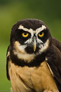 Spectacled Owl, African Lion Safari, Ontario Canada.