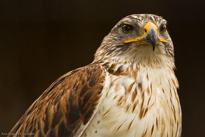 Hawk, African Lion Safari, Ontario Canada.