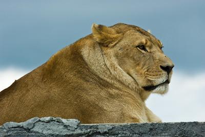 African Lion, African Lion Safari, Ontario Canada.