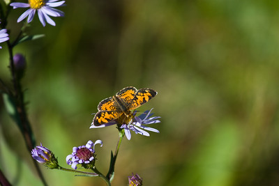 Butterfly and flower in Kananaskis Country, Alberta