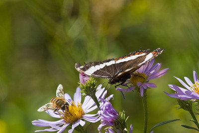 Bee, butterfly and flower in Kananaskis Country, Alberta