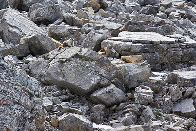 A Marmot at Ptarmigan Cirque, Kananaskis Country