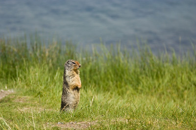 Prarie Dog, Banff National Park
