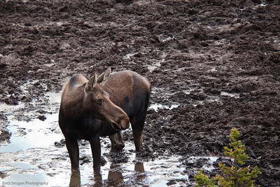 Moose, Kananaskis Country, Alberta