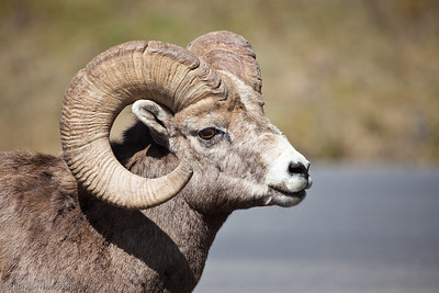 Big Horn Sheep in Banff National Park.