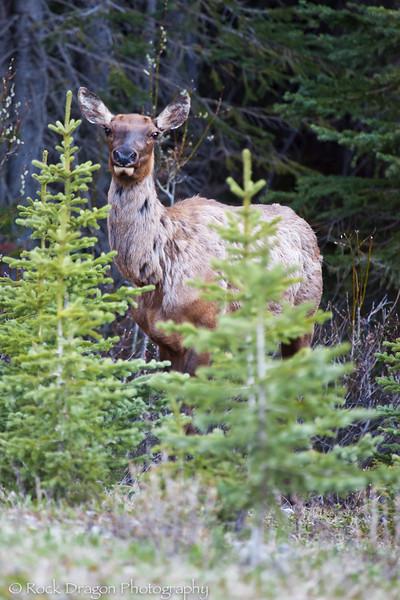 An Elk in Peter Lougheed Provincial Park.