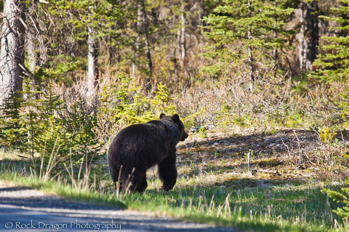 A Grizzly Bear going for a morning stroll down the road in Peter Lougheed Provincial Park.