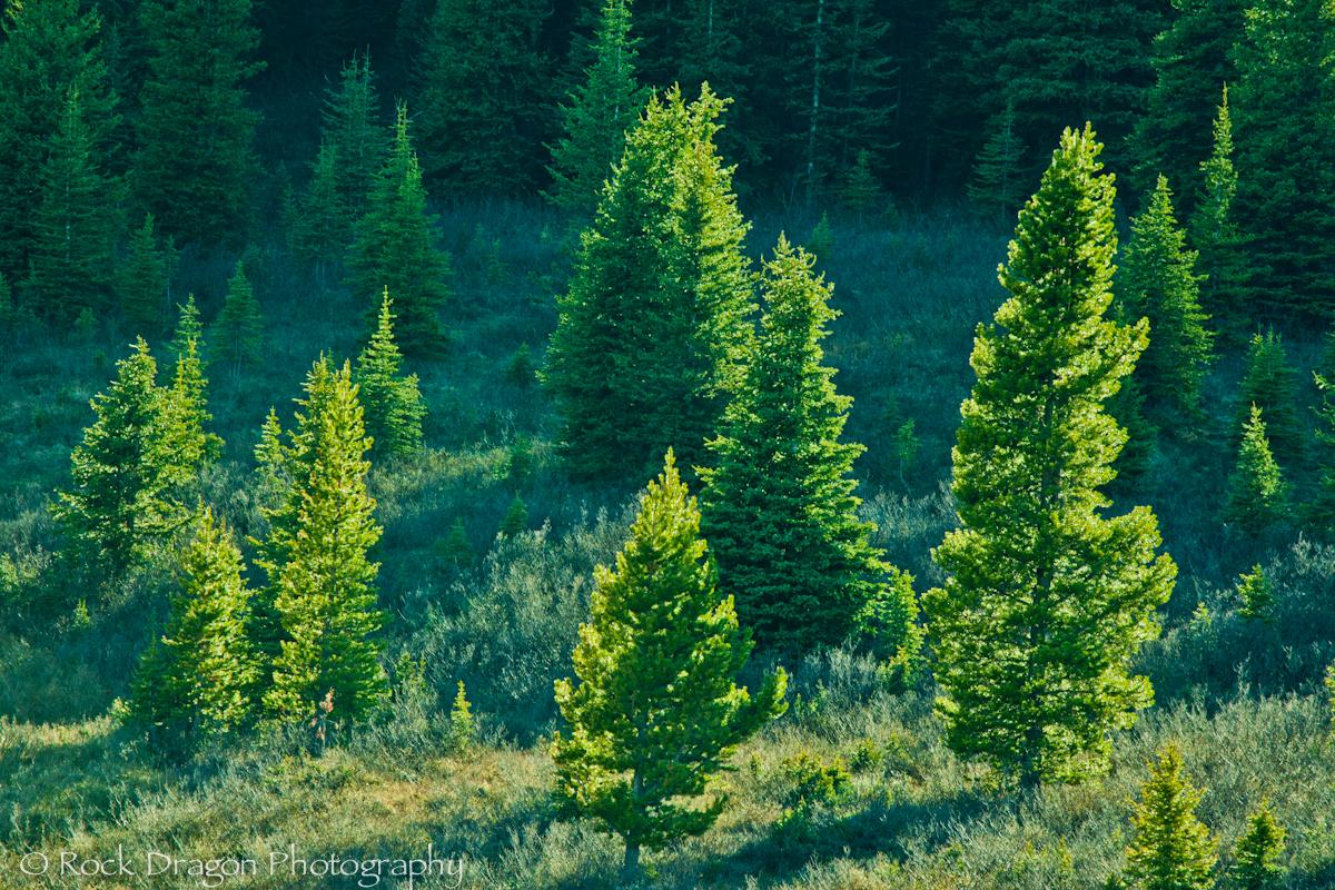 Glowing trees in Peter Lougheed Provincial Park.