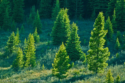 Glowing trees in Peter Lougheed Provincial Park.