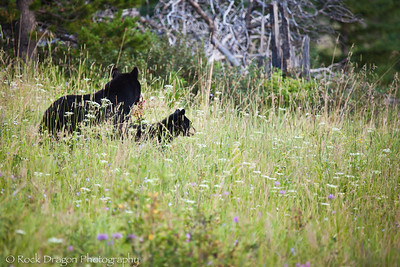 A Black Bear and cub in Waterton National Park Canada