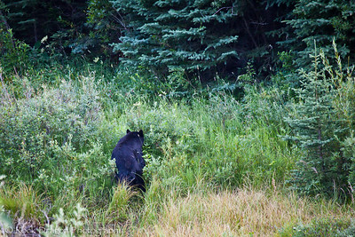 A Black Bear in Waterton National Park Canada