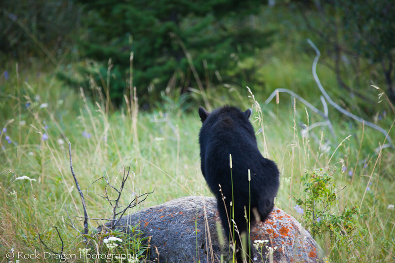 A Black Bear cub in Waterton National Park Canada