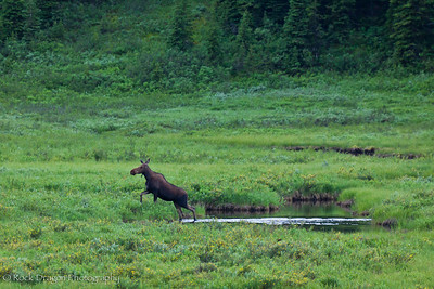 A moose in Peter Lougheed Provincial Park.