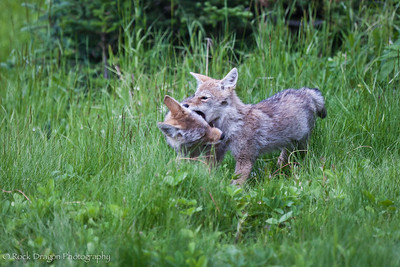 Coyote pups in Peter Lougheed Provincial Park.